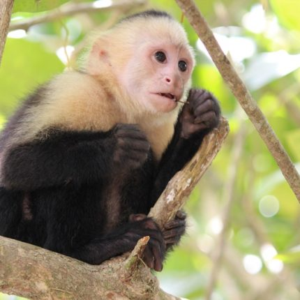 Tag-7-Kapuzineräffchen-im-Nationalpark-Manuel-Antonio-1-430x430